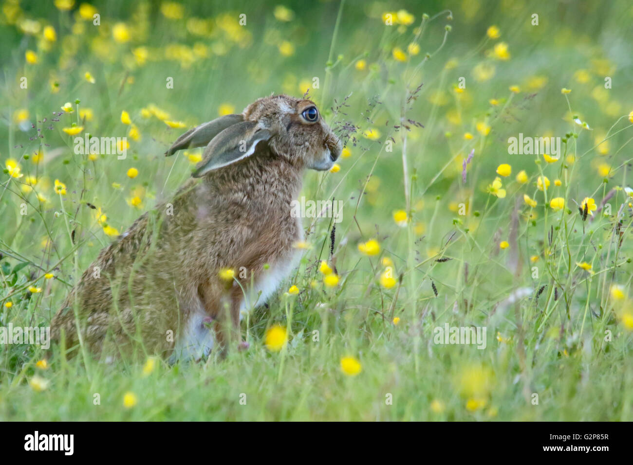 European Brown hare 'Lepus europaeus' grazing in a meadow, England, UK - Stock Image