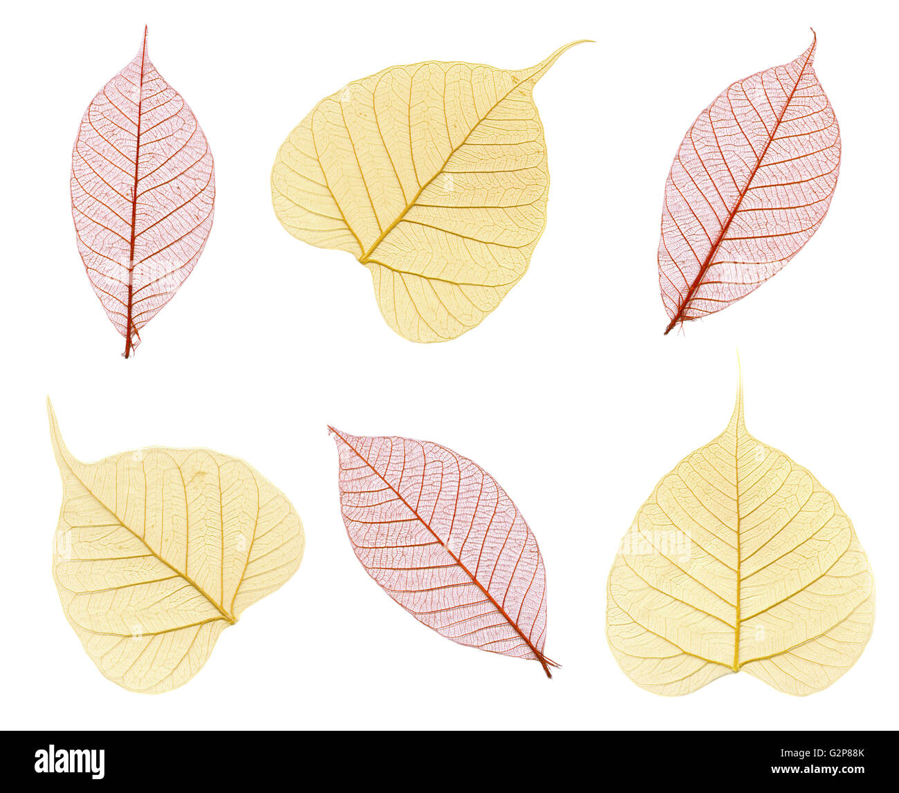 Six skeletons of autumn leaves in maroon and beige isolated on white - Stock Image