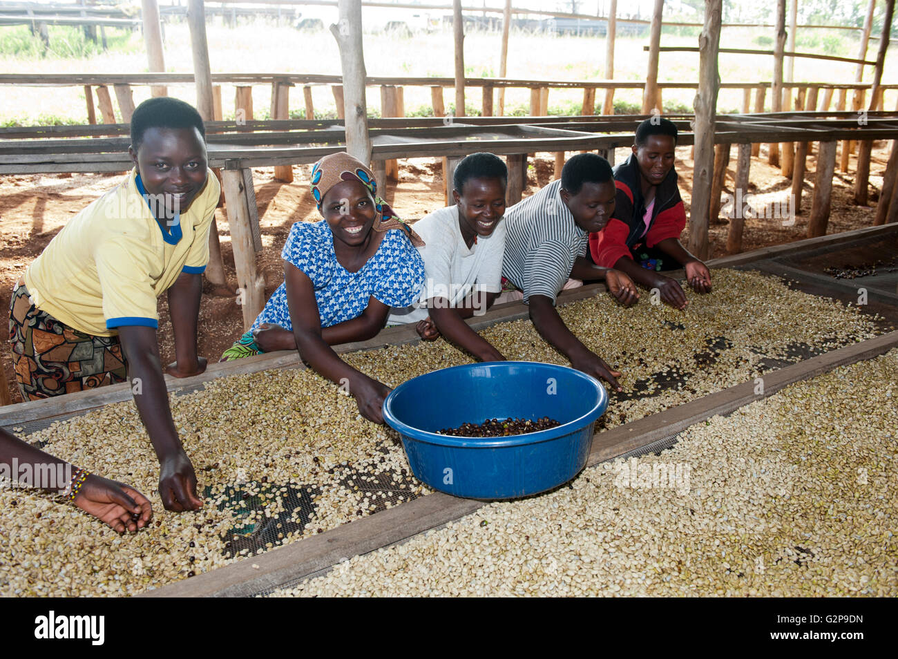 Workers sorting out coffee beans and picking out unshelled beans by hand. Rwanda. - Stock Image