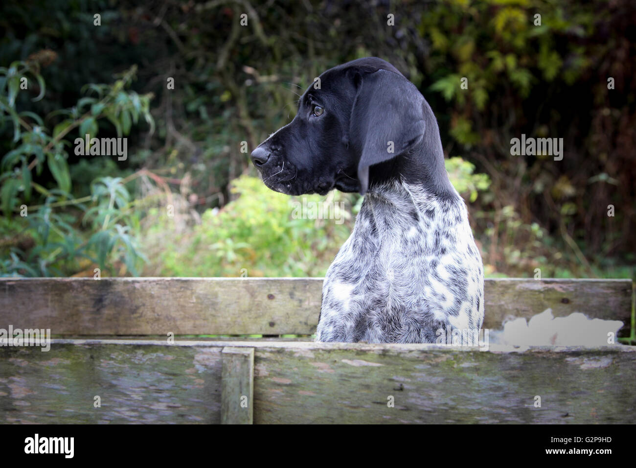 German Shorthaired Pointer Puppy - Stock Image