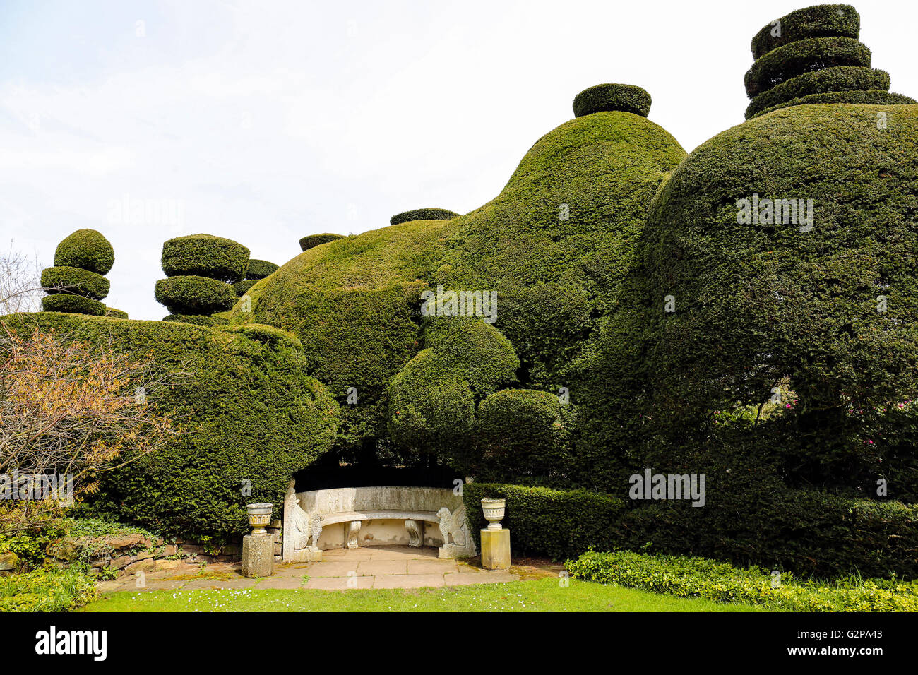 Well manicured Yew trees at - Stock Image