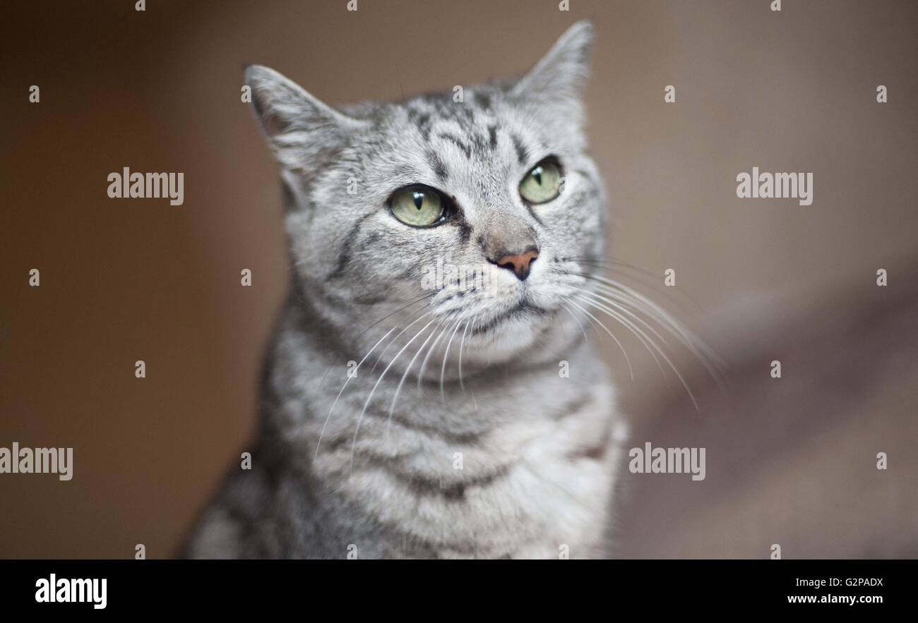 a domestic pet cat - Stock Image