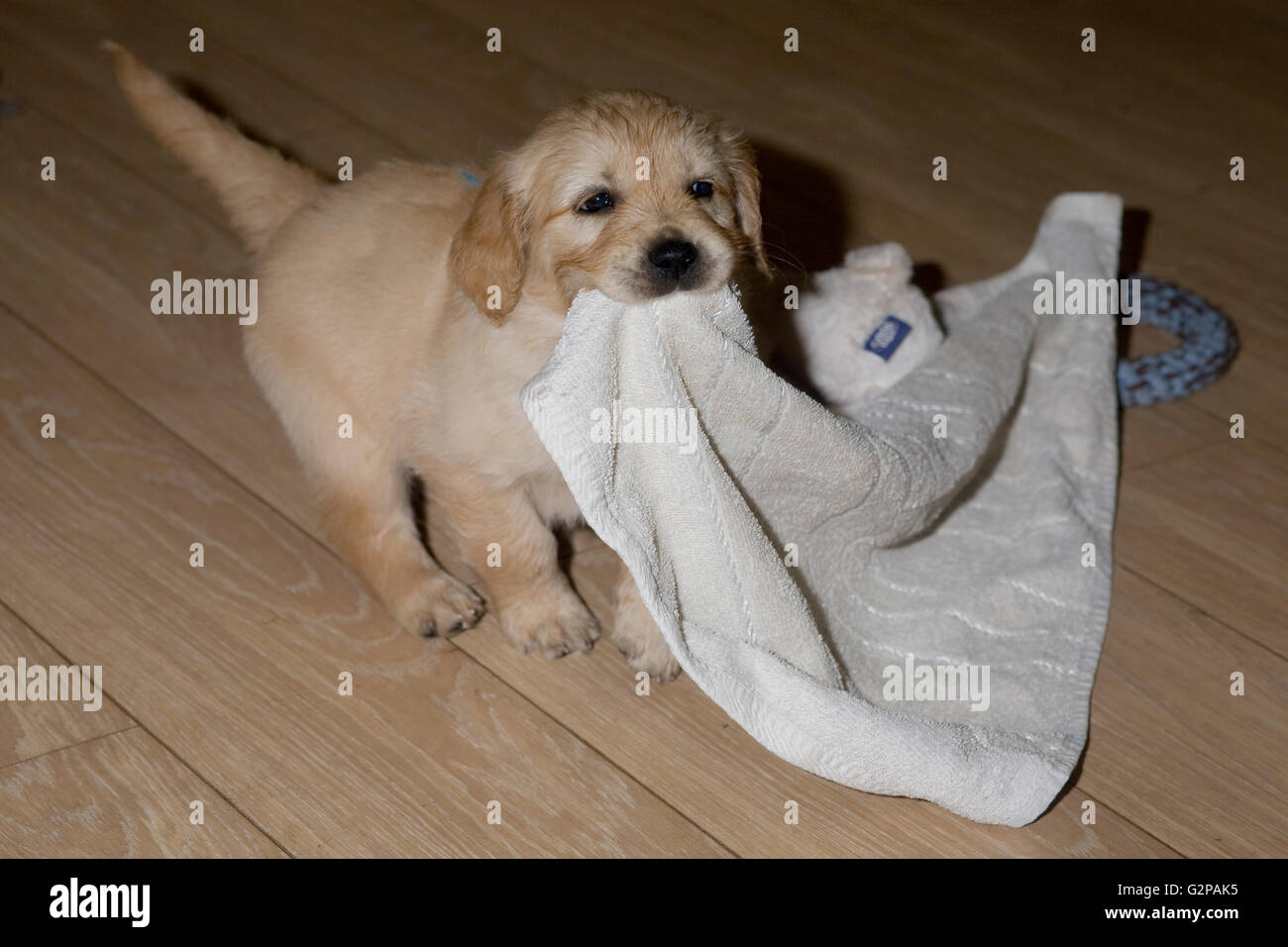 golden retriever puppy on laminate floor pulling a towel - Stock Image
