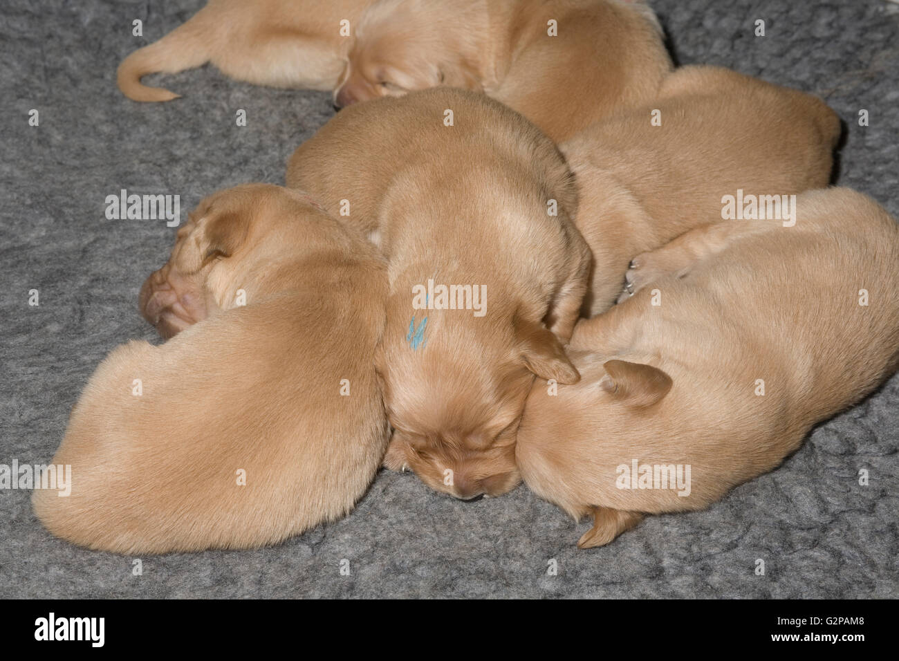 Golden retriever puppies resting close together on polyester fur rug - Stock Image