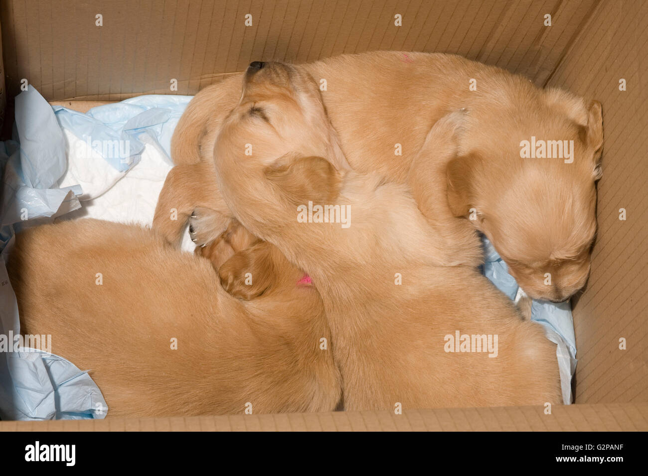 Golden retriever puppies sleeping temporarily in cardboard box for convenience - Stock Image