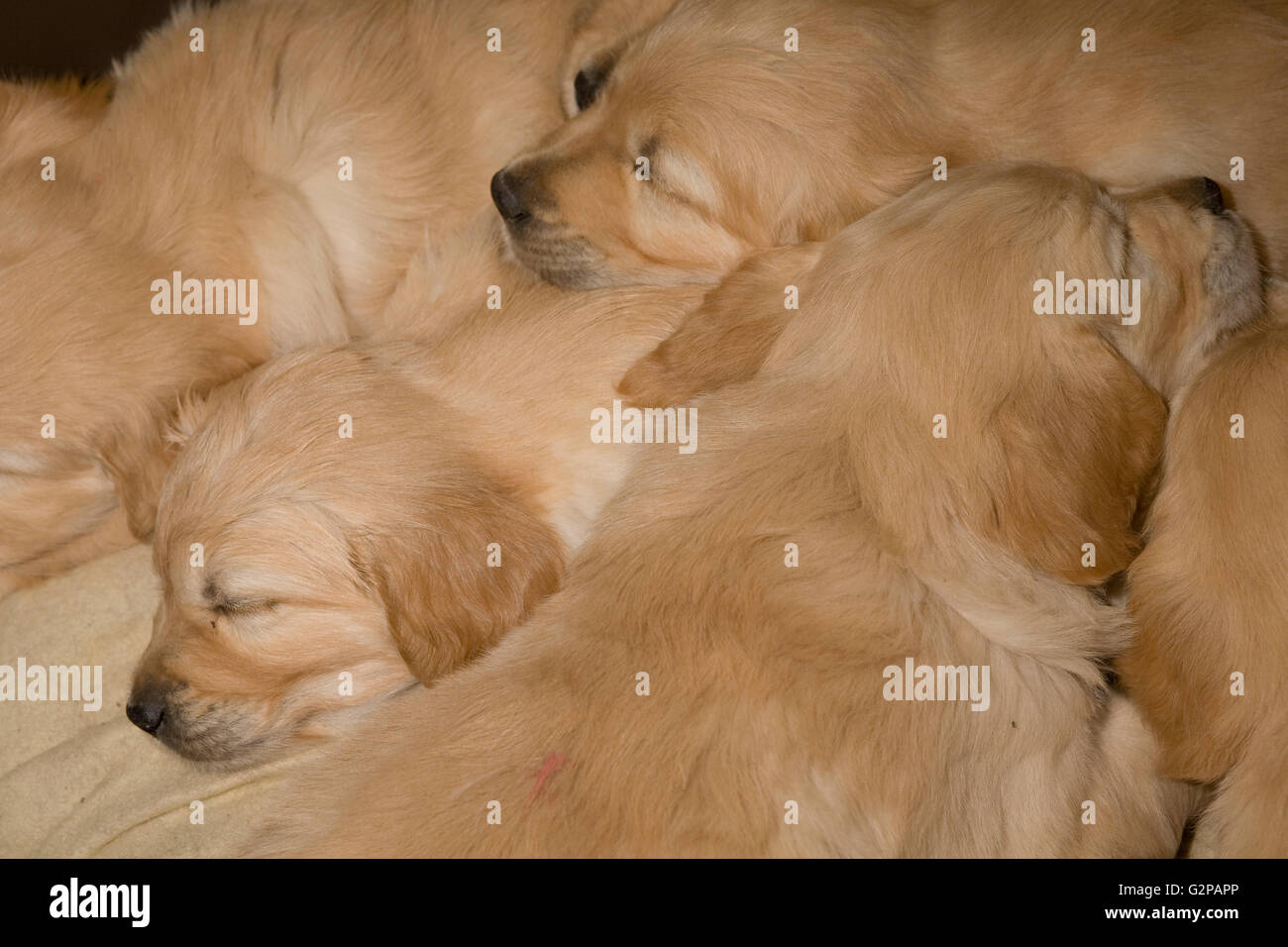 Golden retriever puppies sleeping in comfort close and cosy - Stock Image