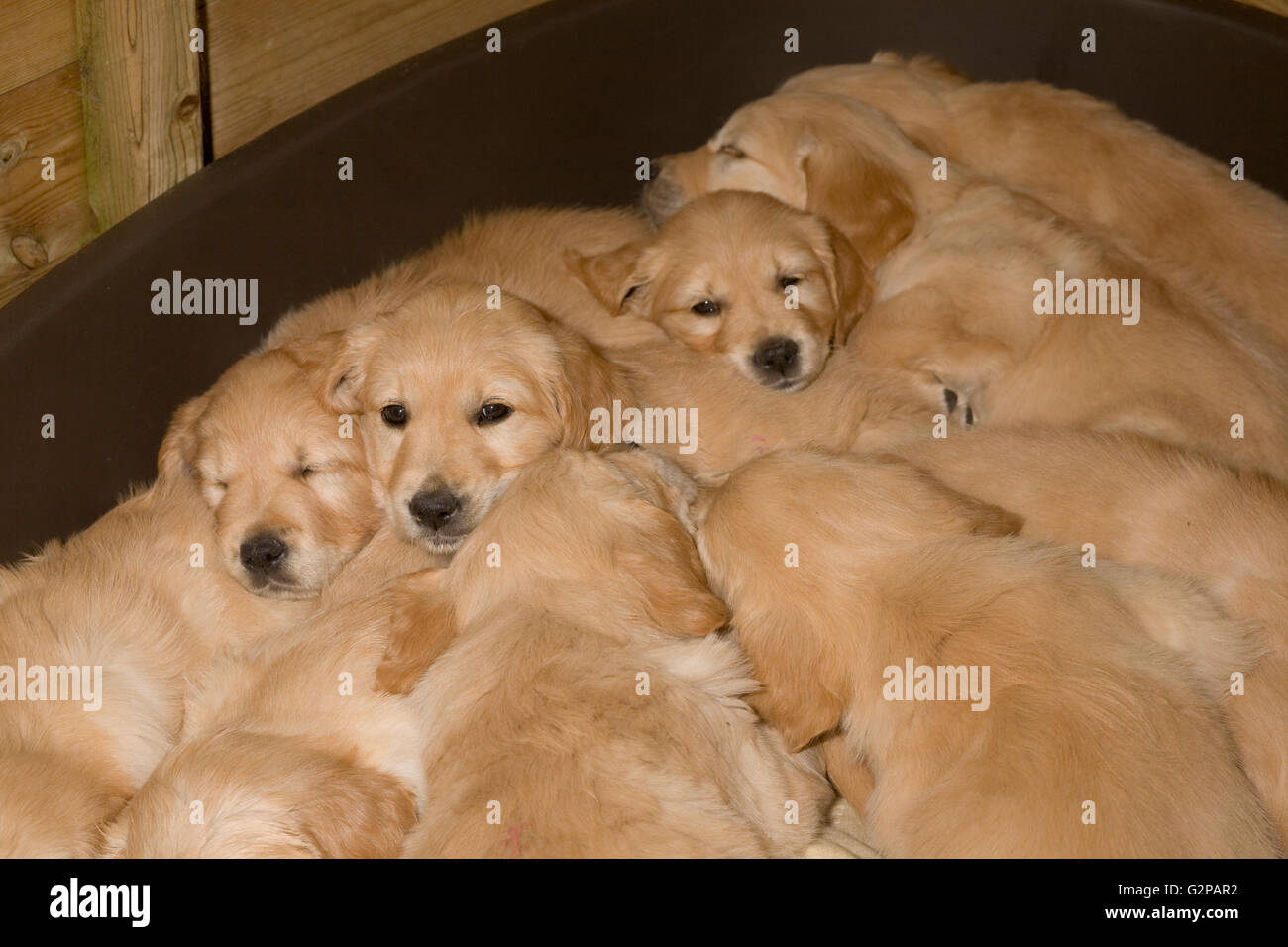 Golden retriever puppies snug in a plastic dog basket - Stock Image