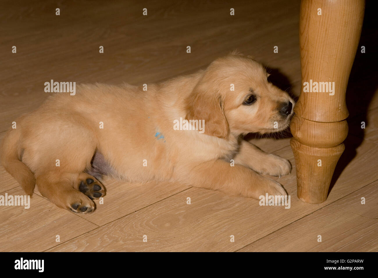 golden retriever puppy by table leg on laminate floor of office study - Stock Image