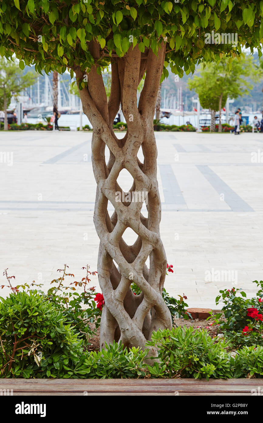 A 'Basket' tree or 'Circus tree' created by grafting many different trees so that they bond and - Stock Image