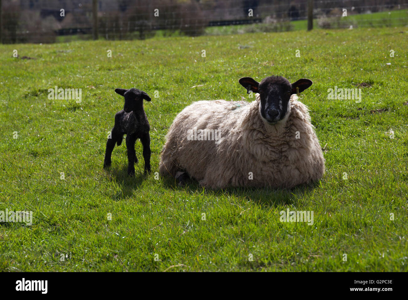 Ewe and lamb, Chipping Campden, Cotswolds, Gloucestershire, England, United Kingdom, Europe - Stock Image