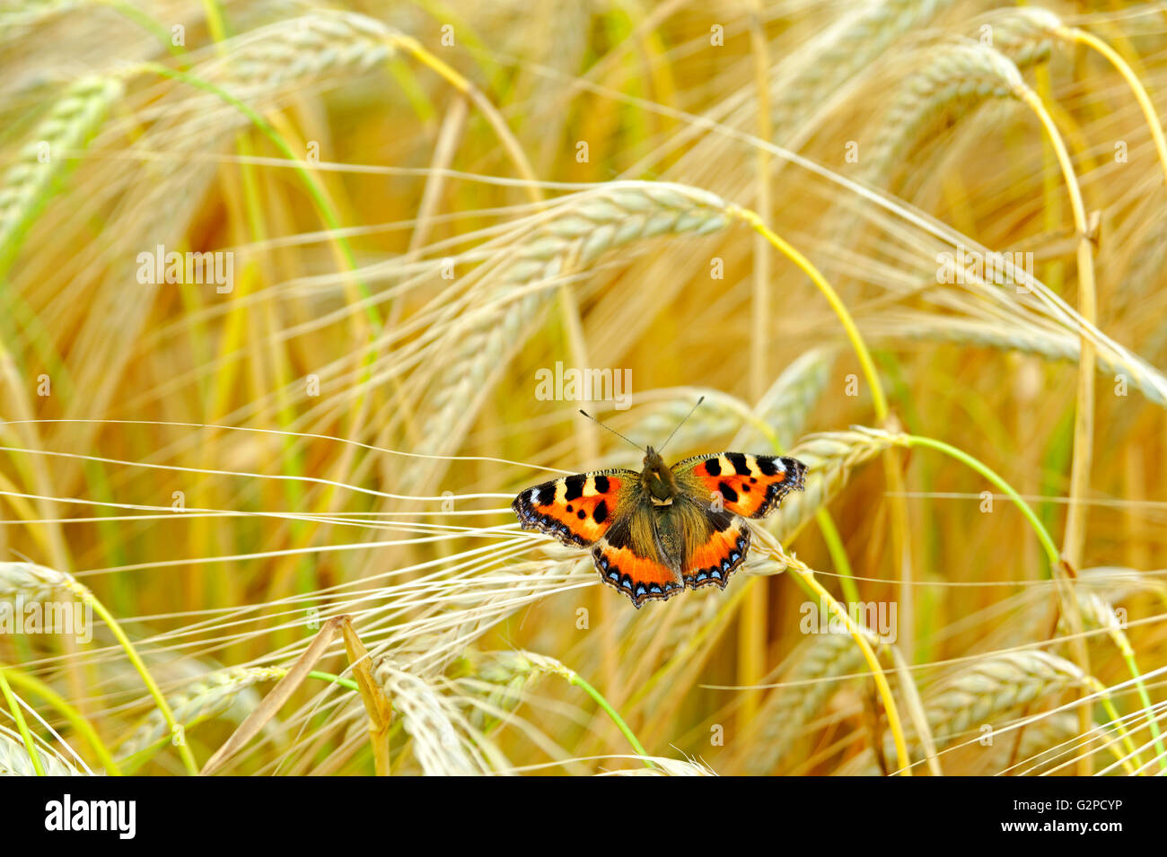 SMALL TORTOISESHELL BUTTERFLY IN A WHEAT FIELD - Stock Image