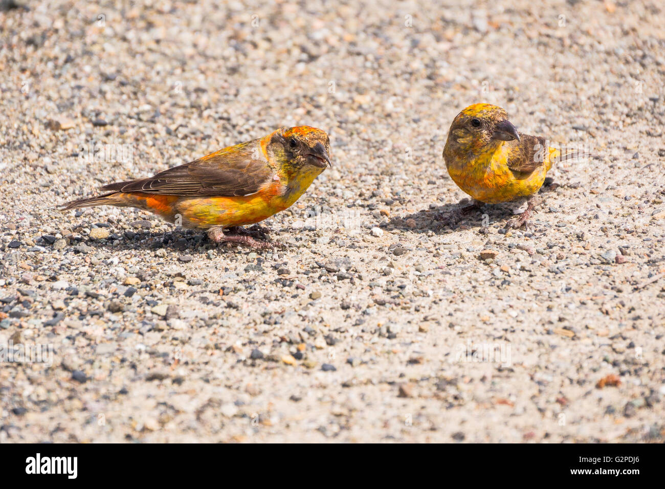 Finches seen roadside in E. C, Manning Provincial Park, Hope-Princeton Highway, BC  Canada - Stock Image