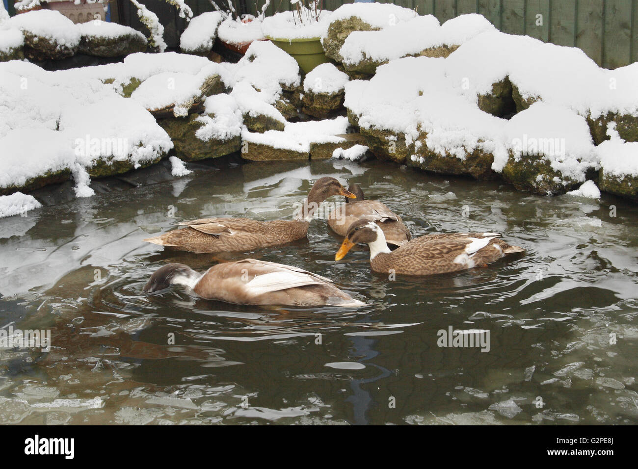 indian runner ducks in pond during winter Anas platyrhynchos domesticus - Stock Image