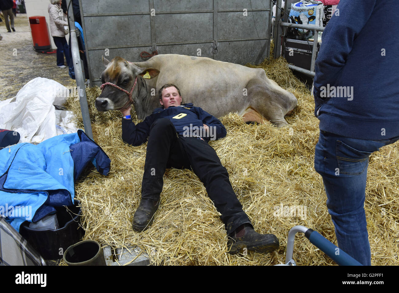 Staffordshire County Show England 1st June 2016. It's  a hard days work for man and beast on the 1st day of - Stock Image