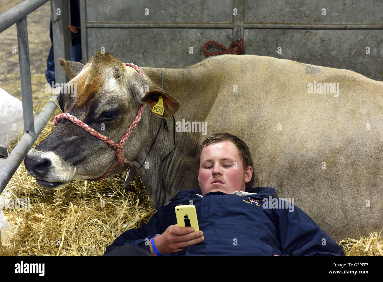Staffordshire County Show England 1st June 2016. It's a hard days work for man and beast on the 1st day of Stafford - Stock Image