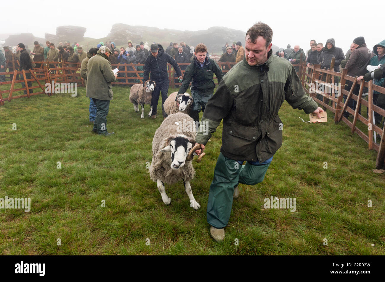 A winning competitor leaves the ring in The 63rd Tan Hill Open Swaledale Sheep Show 2016, Near Richmond, North Yorkshire, Stock Photo