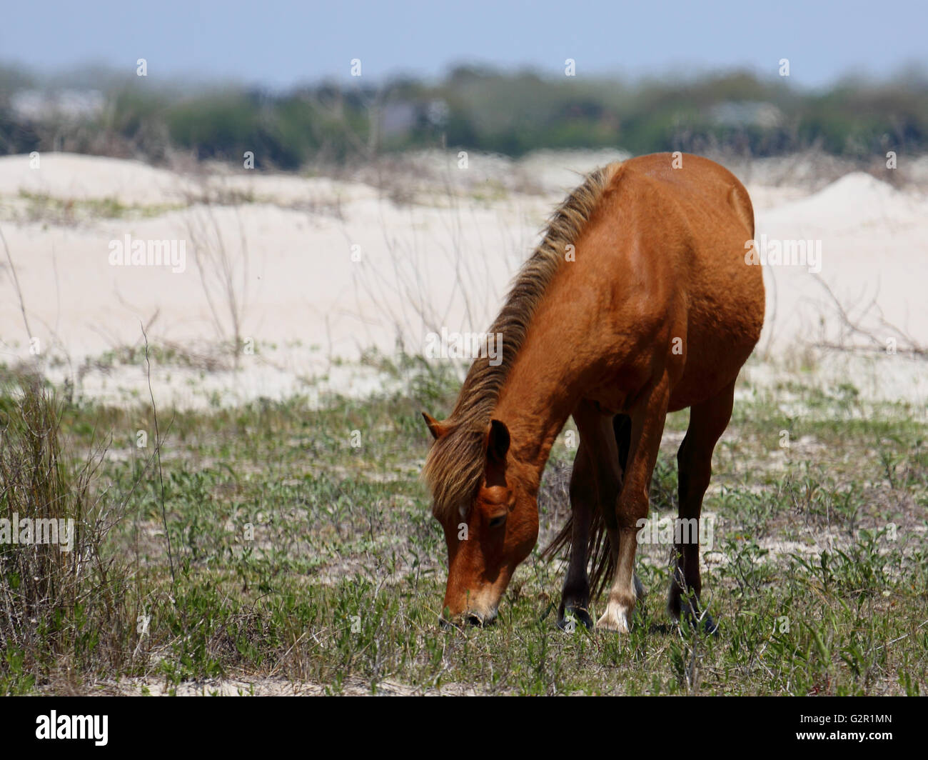 Wild mustang on Shackleford Banks grazing between the dunes - Stock Image