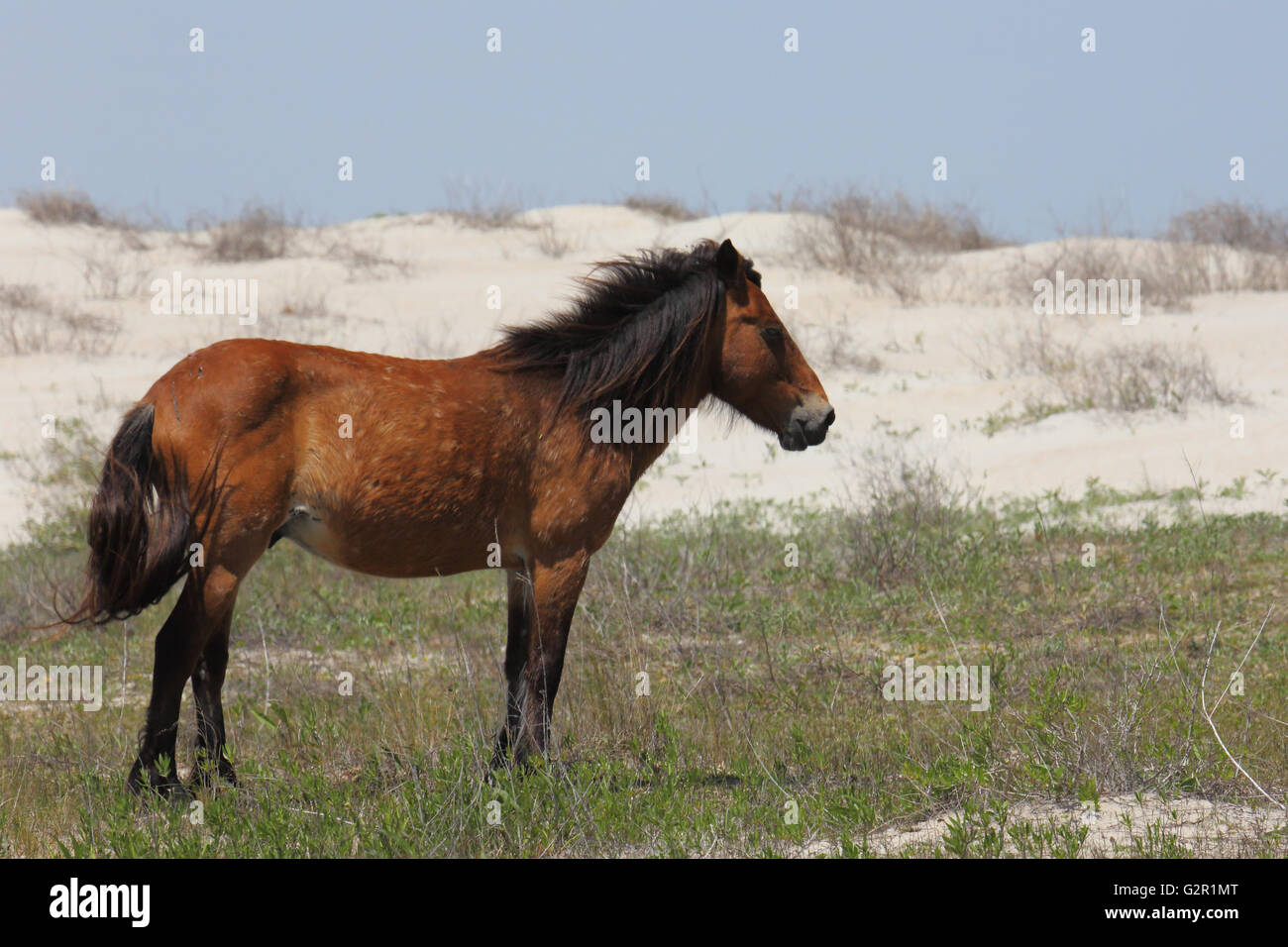 Wild mustang on Shackleford Banks standing between the dunes - Stock Image