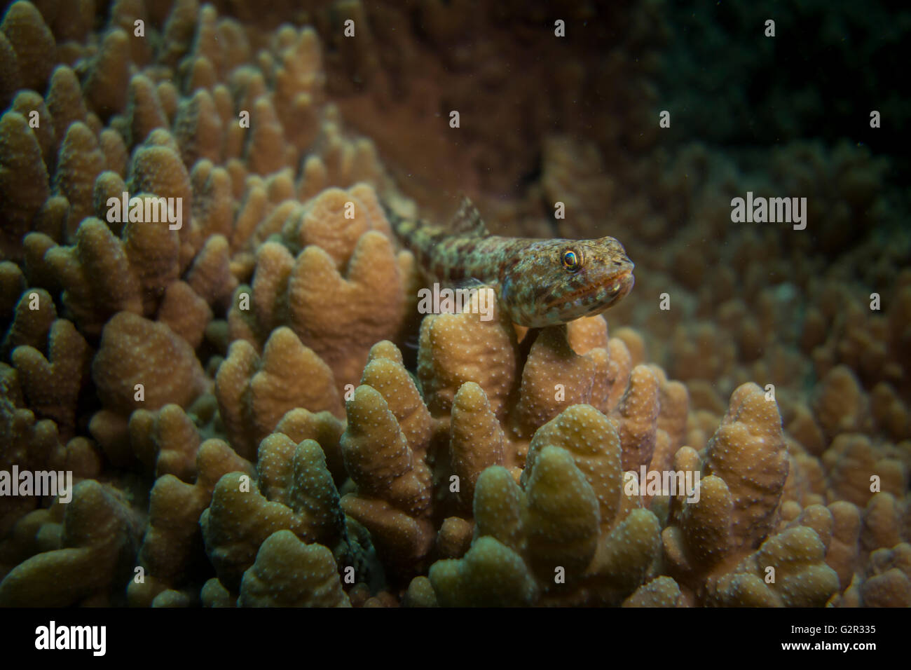 Variegated Lizardfish, Synodus variegatus, on a hard coral, South China Sea, Brunei, Coral Triangle. - Stock Image