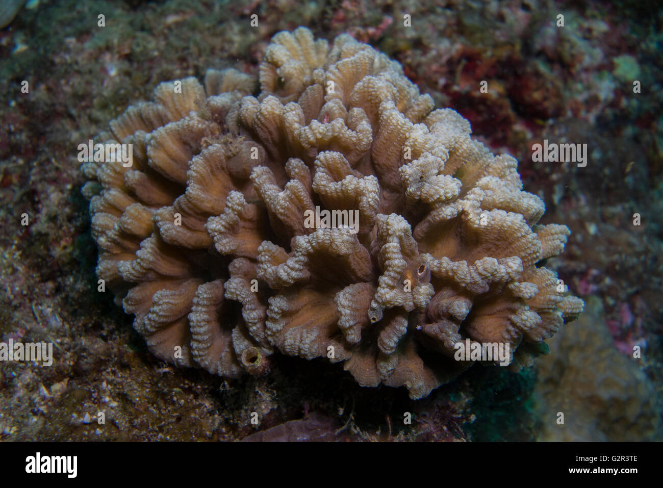 Hard coral or stony coral, tropical coral reef, Brunei, Coral triangle. - Stock Image