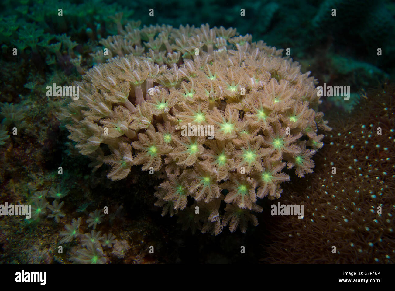 Soft coral, Xeniidae, from the South China Sea, Coral Triangle, Brunei. - Stock Image