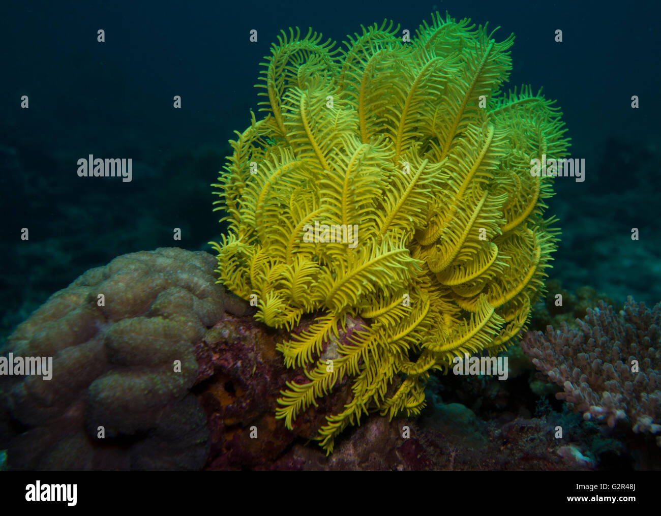 Crinoid, a bright yellow feather star, from the South China Sea, Coral Triangle, Brunei. - Stock Image
