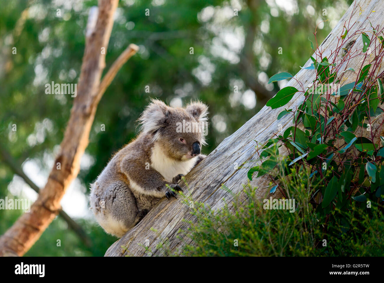 Wild koala bear climbing up a tree in australian outback - Stock Image