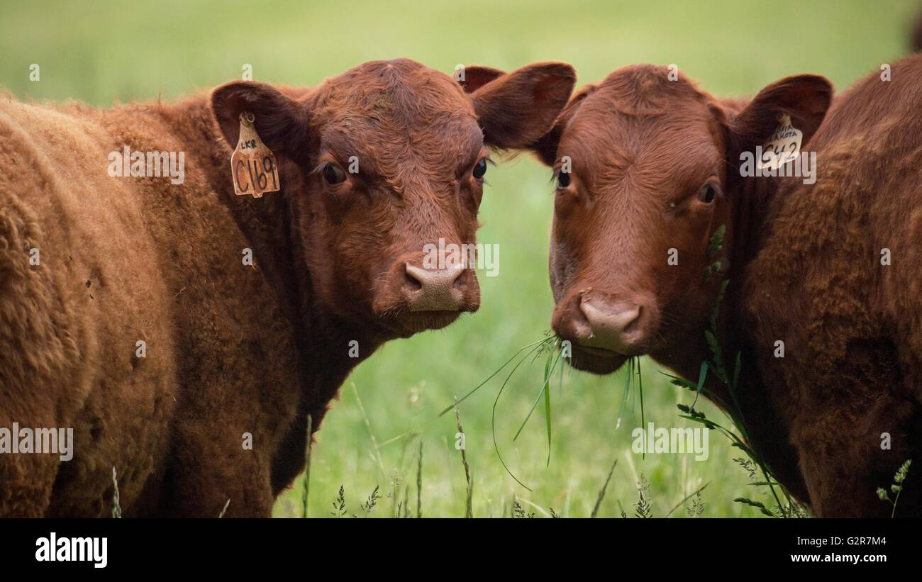 Red Devon Cattle at Lakota Ranch, an organic and grass-fed beef operation May 20, 2016 in Remington, Virginia. - Stock Image