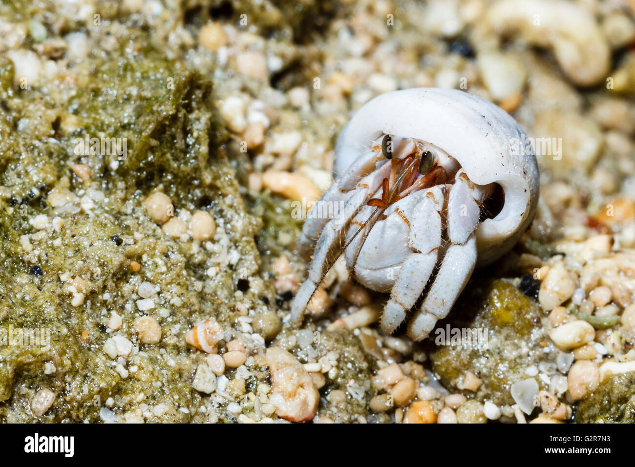 Hermit crab, Siladen, North Sulawesi, Indonesia. - Stock Image