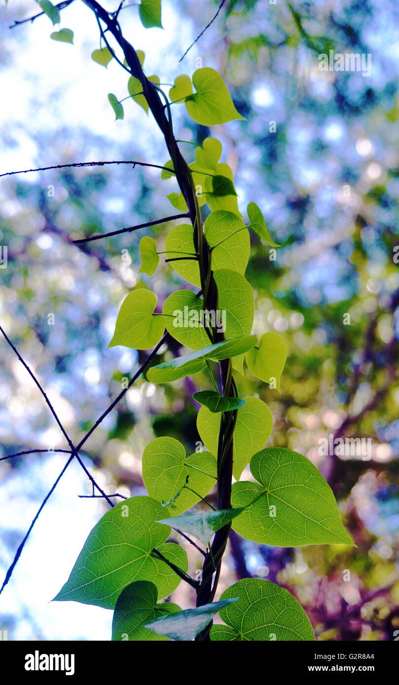 Vine Heart Shaped Leaves Stock Photos Vine Heart Shaped Leaves