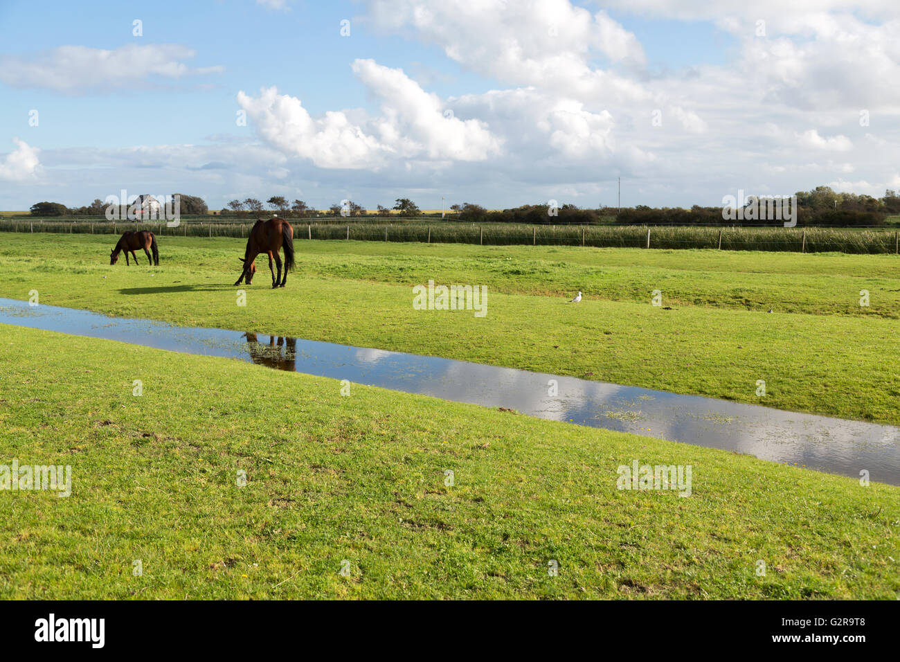 20.09.2015, Neuwerk, Hamburg, Germany - Horses on a way to the island Neuwerk in the Wadden Sea. Neuwerk you can walk around in two hours on foot, has about 40 inhabitants and belongs to Hamburg. / The small Iceland Neuwerk lies in the mudflats of the North Sea, has about 40 inhabitants and belongs to the region of Hamburg. 00A150920D098CAROEX.JPG - NOT for SALE in G E R M A N Y, A U S T R I A, S W I T Z E R L A N D [MODEL RELEASE: NOT APPLICABLE, PROPERTY RELEASE: NO, (c) caro photo agency / Bastian, http://www.caro-images.com, info@carofoto.pl - Any use of this picture is subject to royalty! Stock Photo