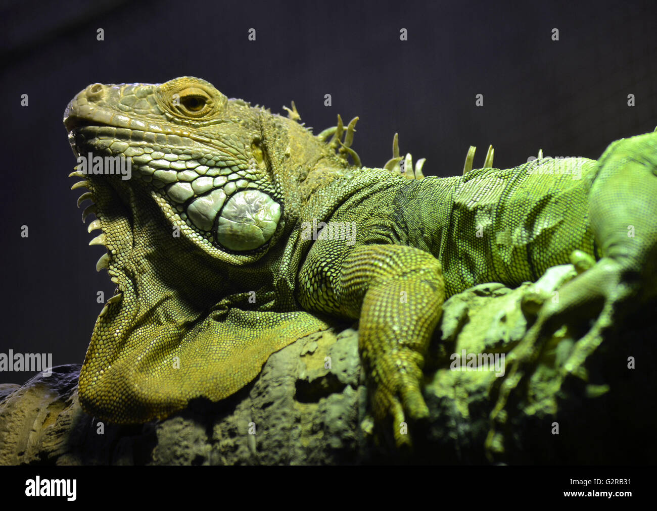 Big green scaly Iguana with its frills and folds of skin, basking on a tree branch - Stock Image
