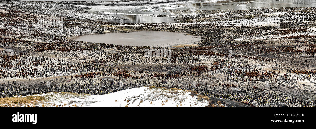South Georgia Island King Penguin Colony Panoramic - Stock Image