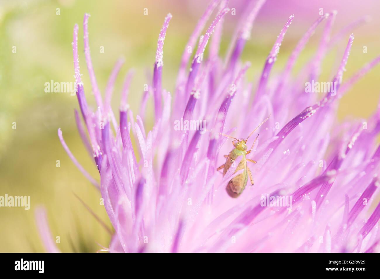 A Common Green Capsid bug (Lygocoris pabulinus) in a thistle flower. - Stock Image