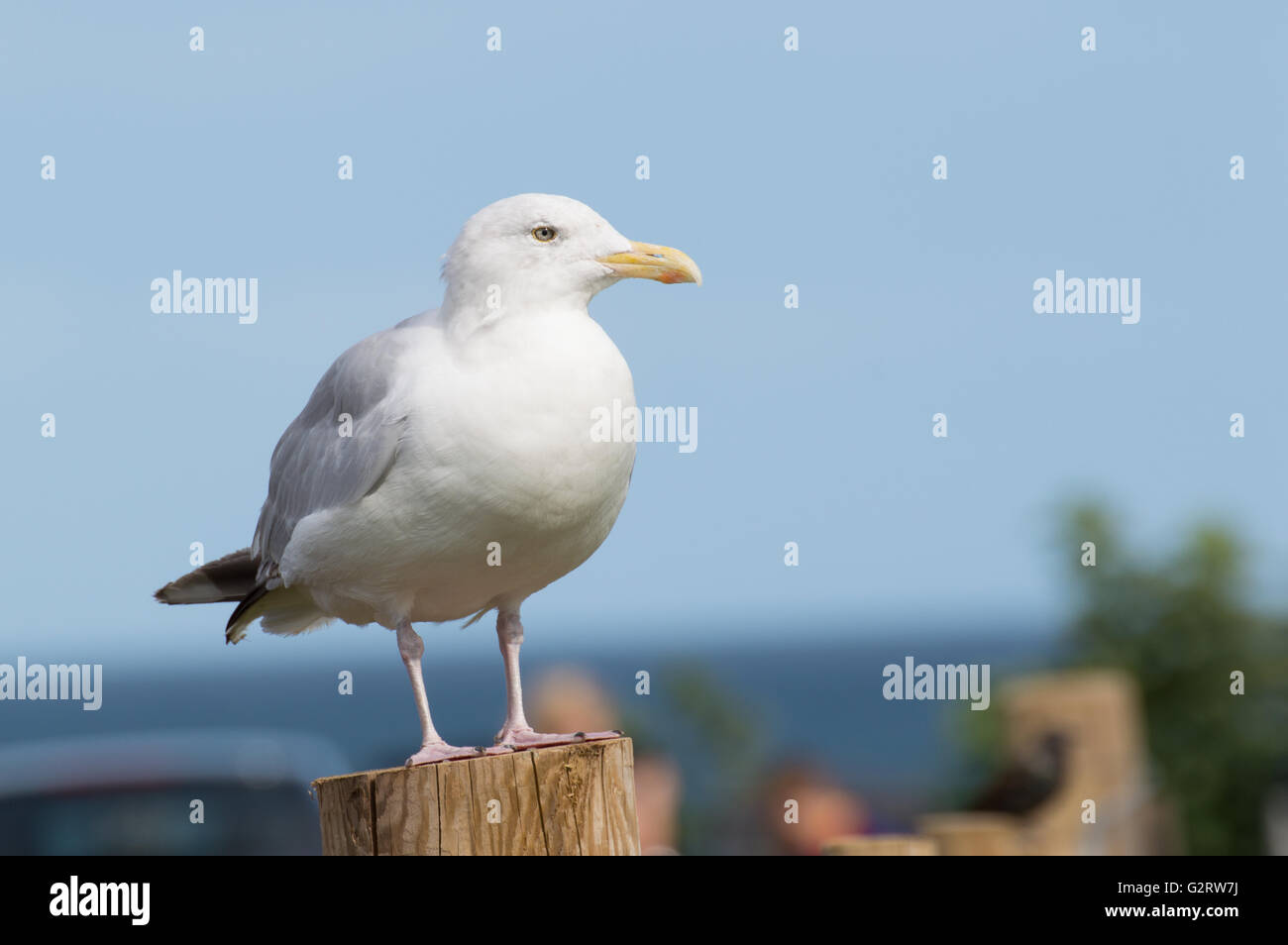 A Herring Gull (Larus argentatus) standing on a wooden fence post. - Stock Image