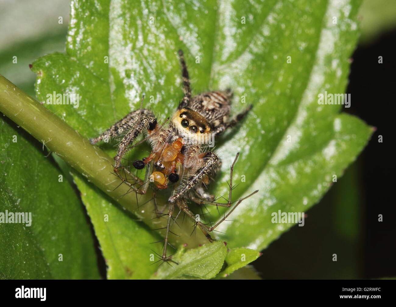 Jumping spider feeding on a lynx spider but having to share its meal with some predator flies that feed on spiders. Stock Photo