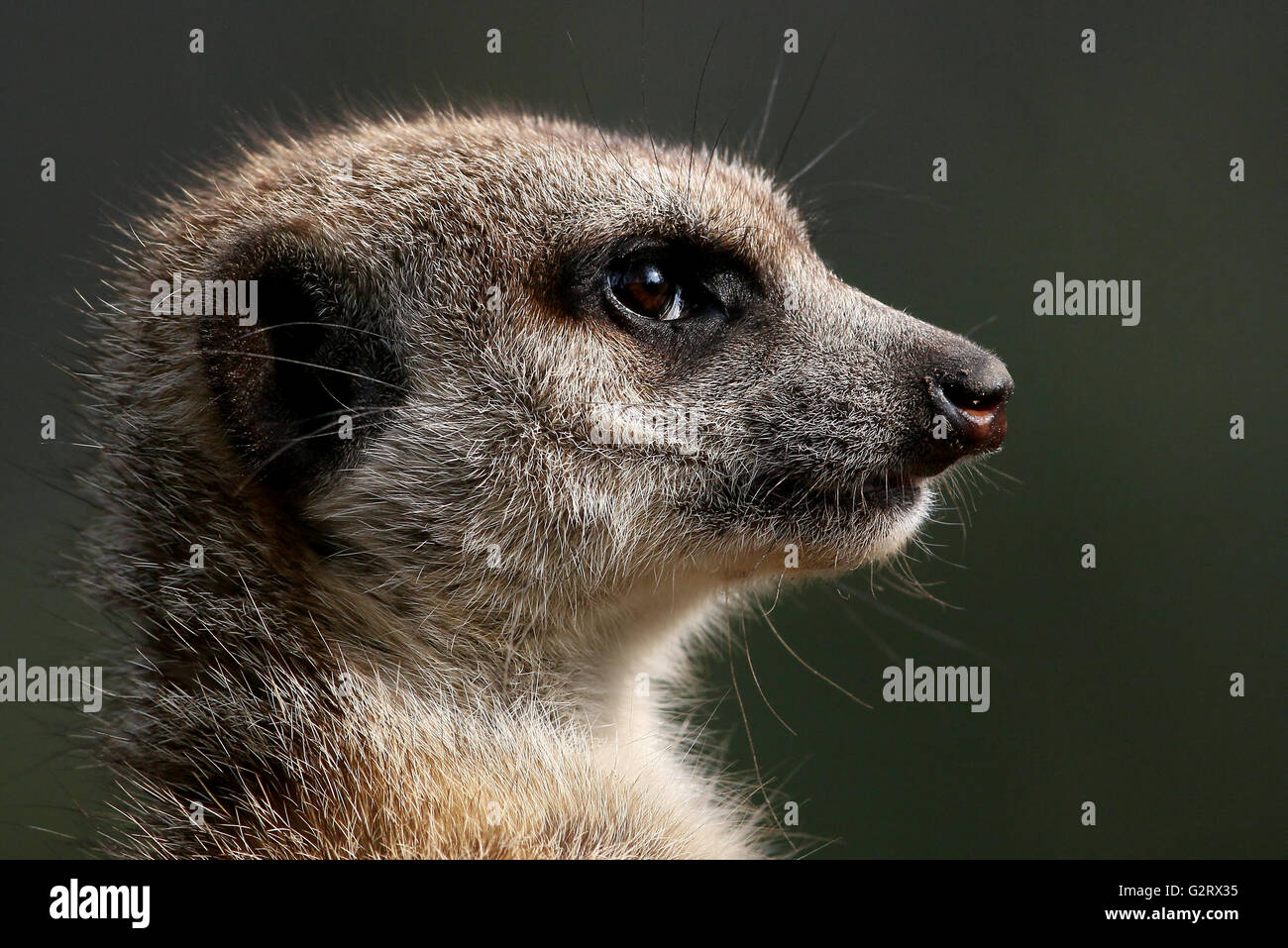 Close-up of the head of an alert South African Meerkat (Suricata suricatta) - Stock Image