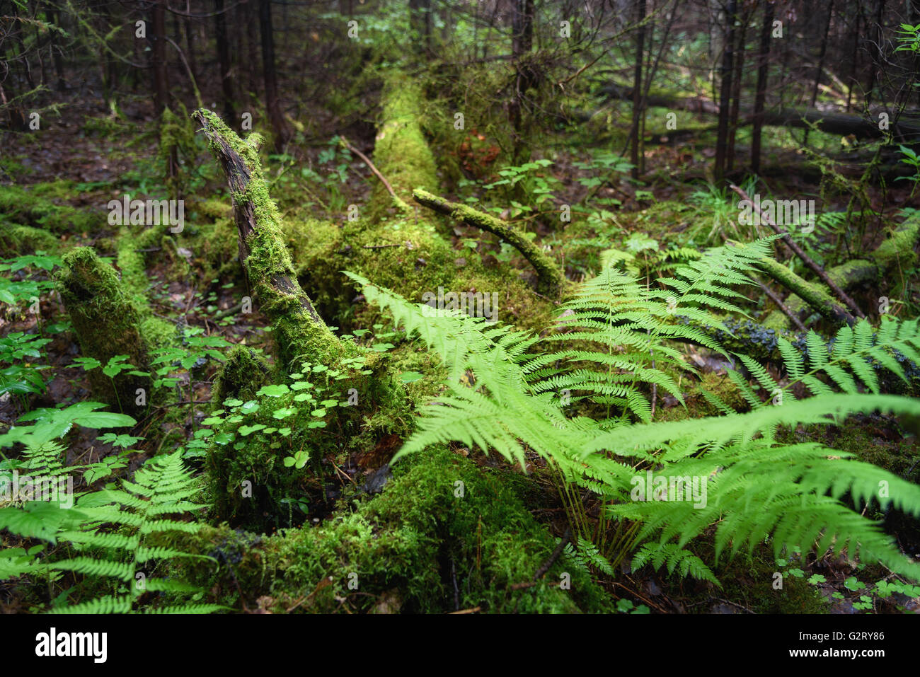 Fern, Wood Sorrel, Moss on tree in the forest. Selective focus Stock Photo