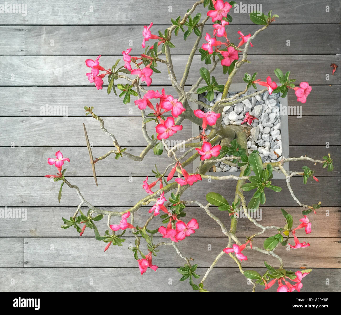 a potted plant with pink flowers against a weathered mahogany deck in St Bart's - Stock Image