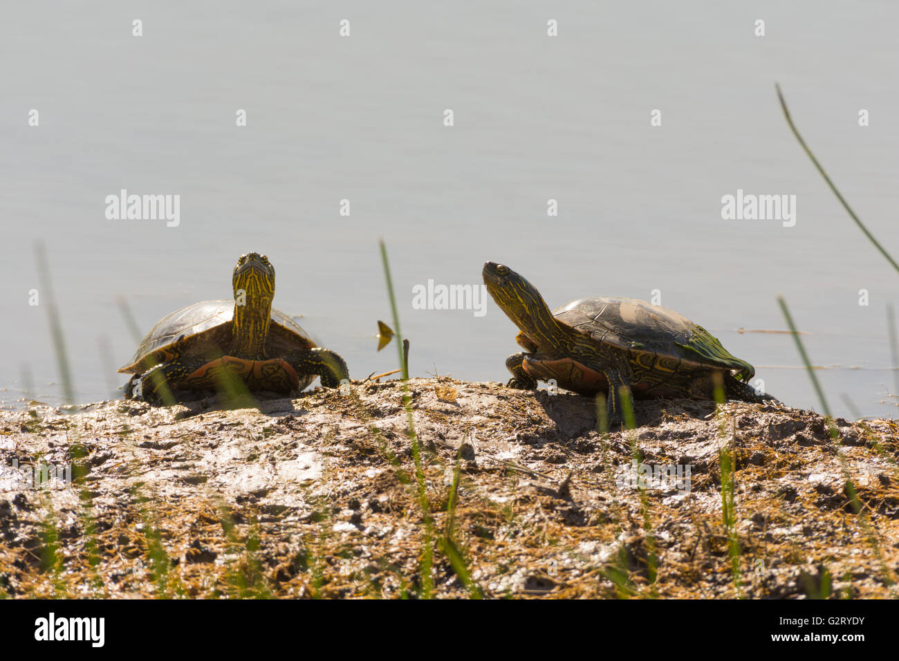 Western Painted Turtles, (Chrysemmys picta bellii), basking at Bosque del Apache National Wildlife Refuge, New Mexico, - Stock Image