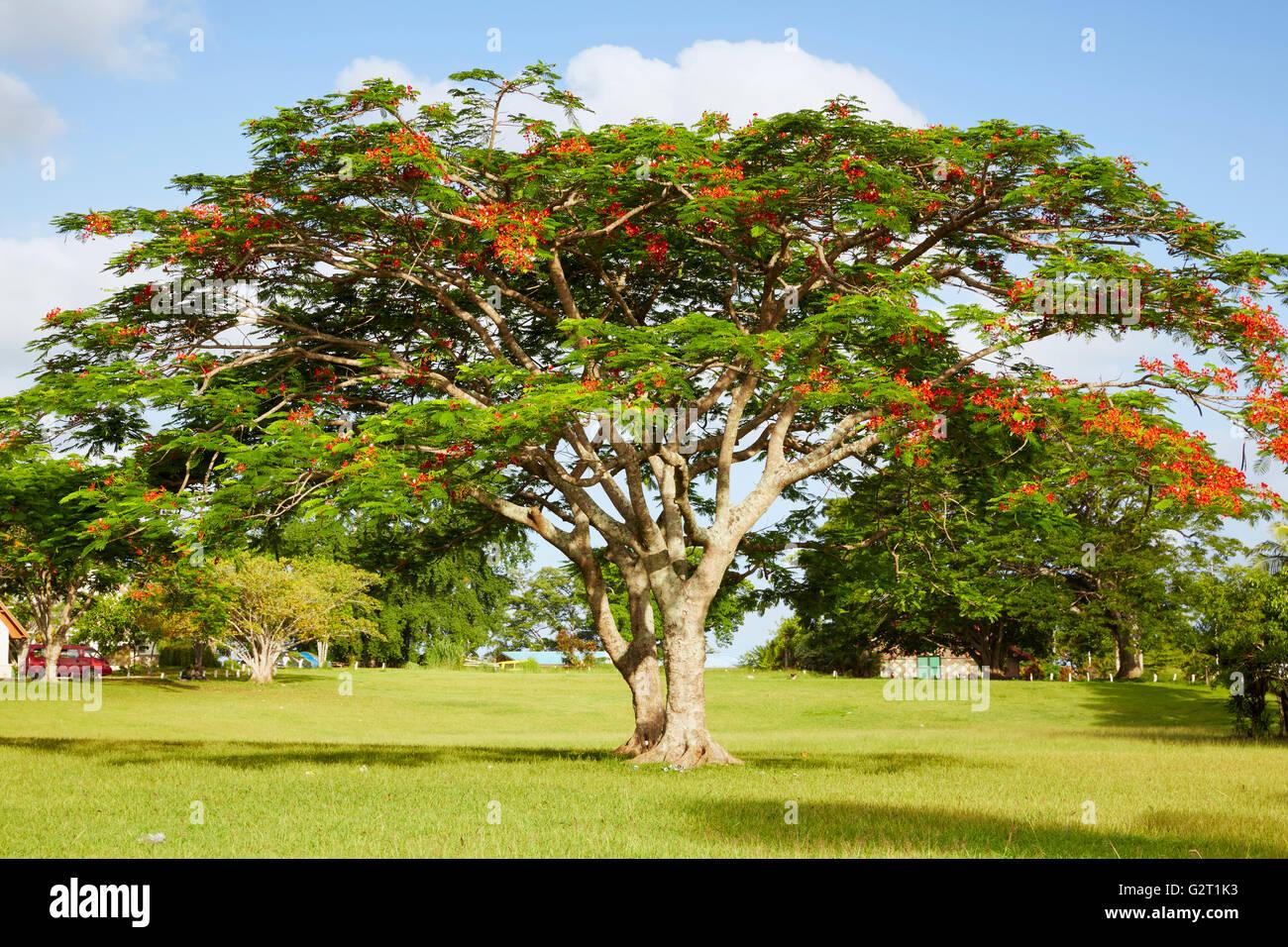 Royal poinciana (Delonix Regia), Port Vila, Efate Island, Vanuatu - Stock Image