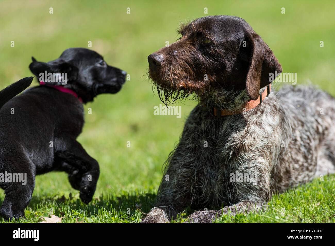 An Adult German Wirehair Pointer And A Black Lab Puppy Stock Photo
