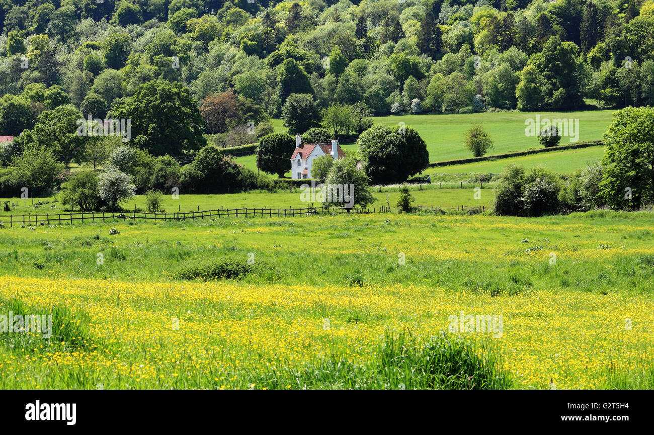 An English Rural Landscape in the Chiltern Hills with field full of buttercups - Stock Image