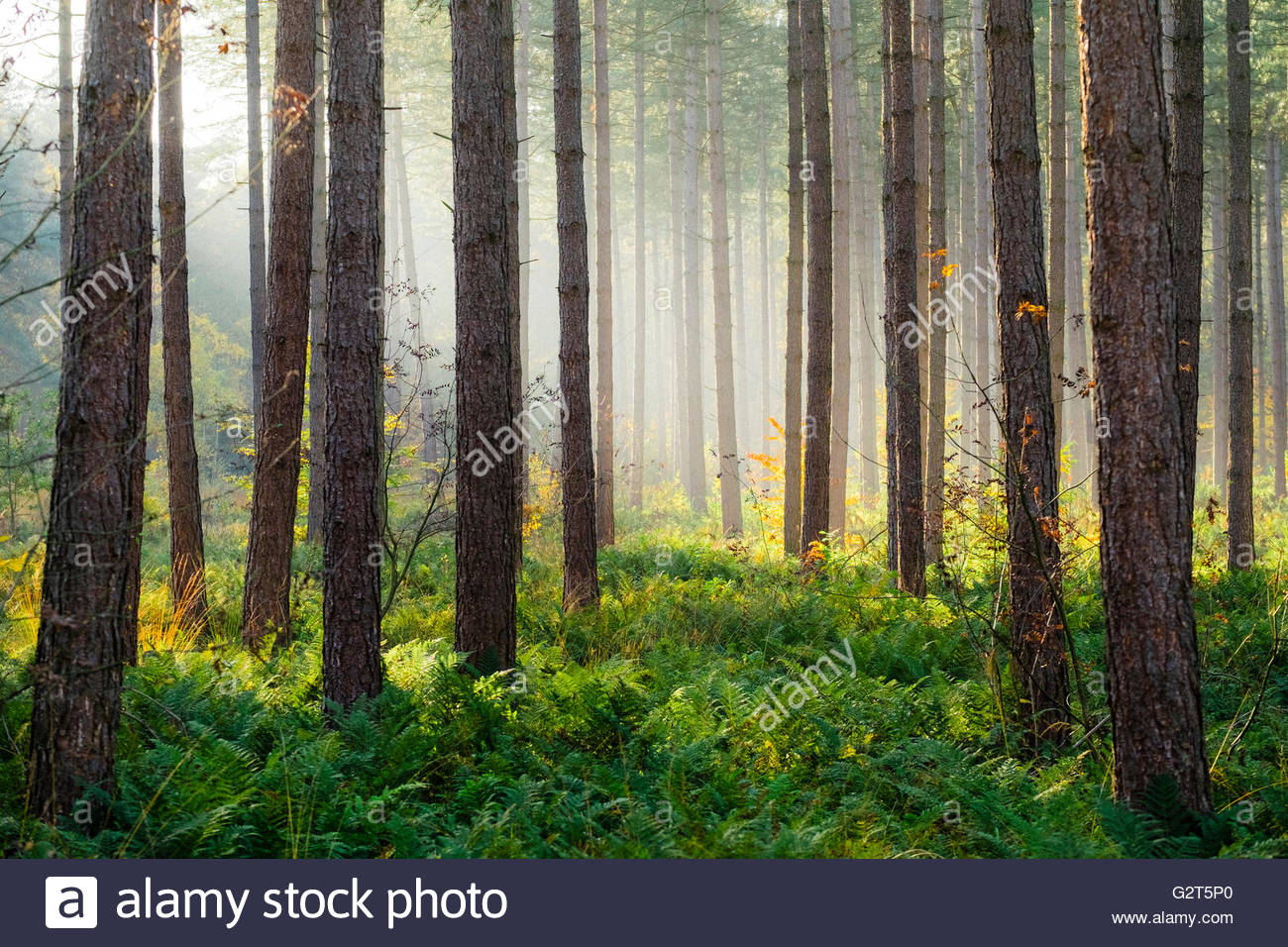 Light rays through trees in Hoge Kempen National Park in autumn, Limburg, Vlaanderen (Flanders), Belgium - Stock Image