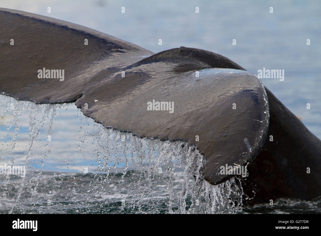 Humpback Whale tail close up with water running off, Knight Inlet, British Columbia, Canada. - Stock Image
