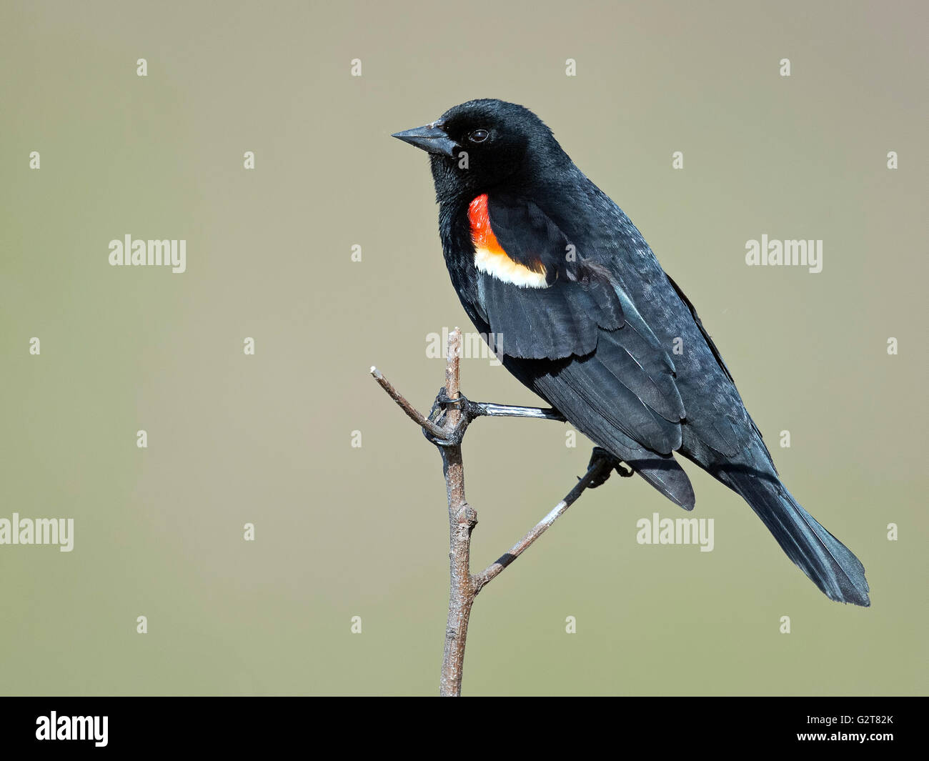 Male Red-winged Blackbird - Stock Image