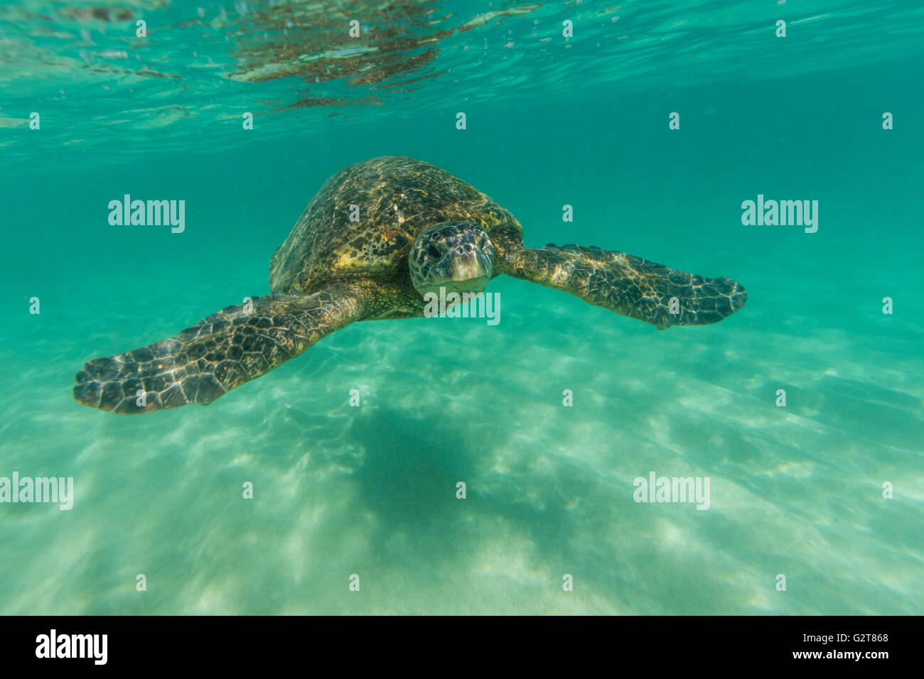 A underwater view of a sea turtle swimming in shallow ocean waters. - Stock Image