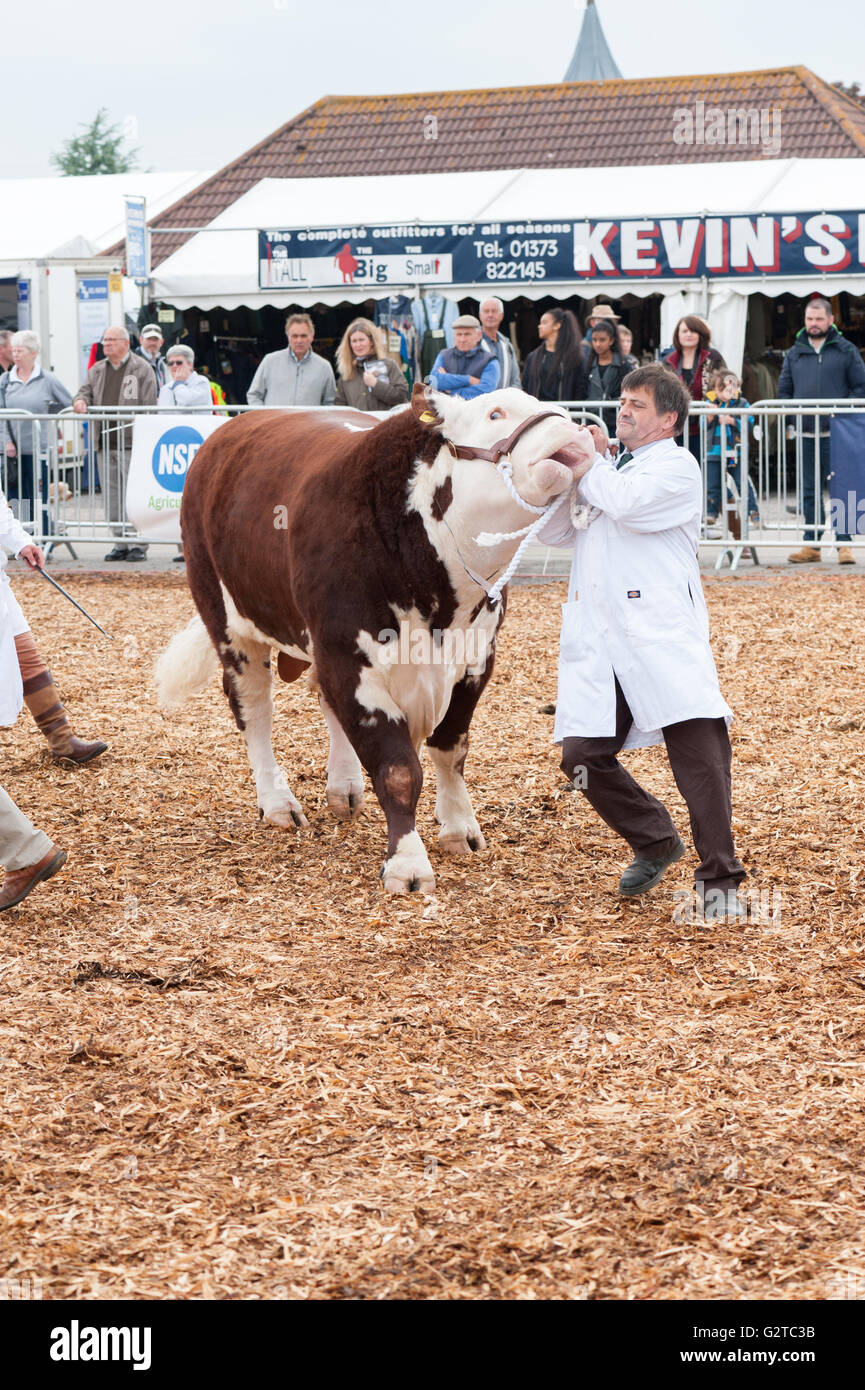 bull farmer judge [bath and west] competition cow - Stock Image