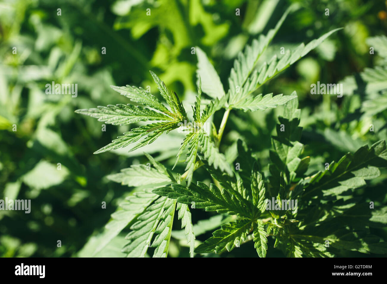 young leaves of cannabis - Stock Image