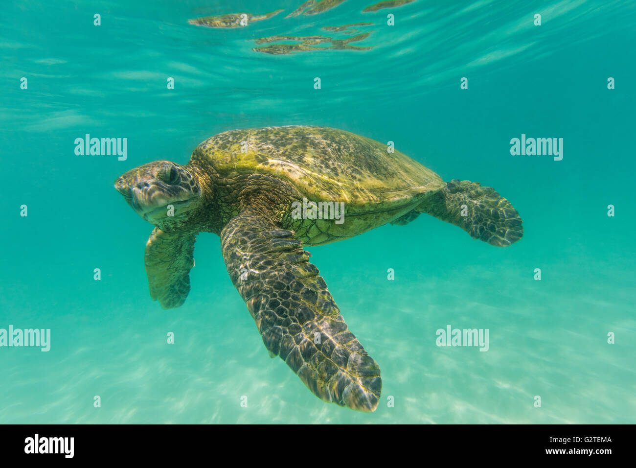 An underwater close up of a Hawaiian Green sea turtle in the ocean looking at the camera. - Stock Image